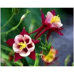 Red Columbine Photographic Print