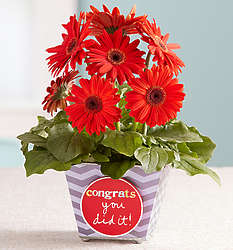 Congrats You Did It Gerbera Daisy Plant