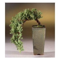 Juniper Cascade Style Bonsai