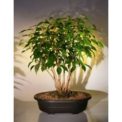 Ficus Bonsai Tree Forest Group
