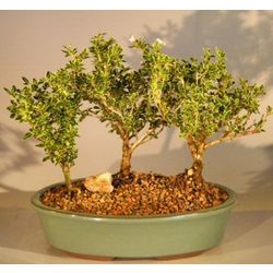 Flowering Mount Fuji Serissa Bonsai 3 Tree Group