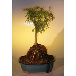 Sweet Acacia Bonsai Tree Root Over Rock