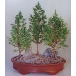 Eastern White Cedar Bonsai 3 Tree Group