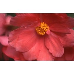 Begonia Photographic Art Print