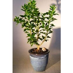 Flowering Chinotto Sour Orange Bonsai Tree