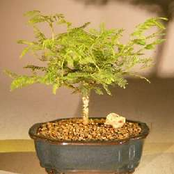 Small Flowering Princess Earrings Bonsai Tree