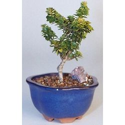 Small Dwarf Pagoda Holly Bonsai Tree