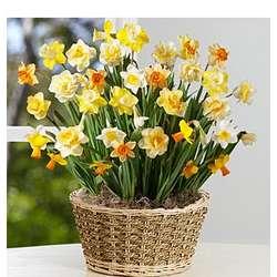 Dancing Daffodil Bulb Garden