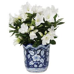 White Azalea Plant in Blue Floral Cachepot