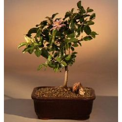 Flowering Lavender Star Flower Bonsai Tree