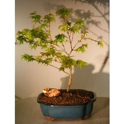 Dwarf Japanese Maple Bonsai Tree
