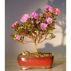 Purple Gem Rhododendron Bonsai Tree