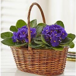 Basket of Blooming Violets