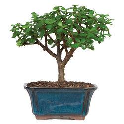 Dwarf Jade Tree Bonsai