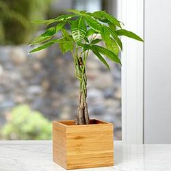 Braided Bonsai Money Tree