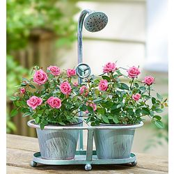 Spring Showers Pink Rose Plant Duo