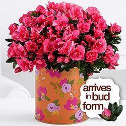 Hot Pink Azaleas for Mom