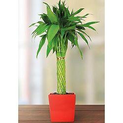 Elegant Twist Bamboo Plant