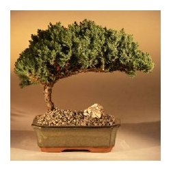 Medium Juniper Bonsai Tree