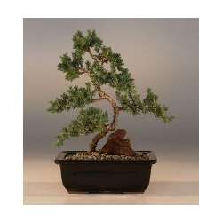 "Juniper ""Karate Kid"" Medium Bonsai Tree"