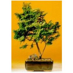 Large Golden Hinoki Cypress Bonsai
