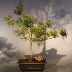 Japanese White Pine 6 Year Old Bonsai Tree