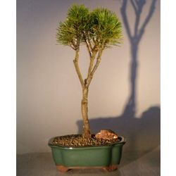 Mugo Pine 9 Year Old Bonsai Tree