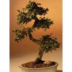 Chinese Elm Bonsai - Large