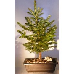 Colorado Blue Spruce 9 Year Old Bonsai Tree