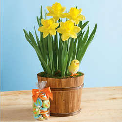 Daffodil Plant in Wooden Planter