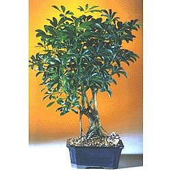 Medium Hawaiian Umbrella Bonsai Tree
