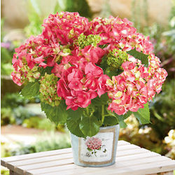 Pink Hydrangea Plant in a Tin Container