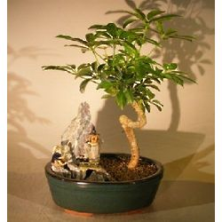 Hawaiian Umbrella Bonsai Tree with Coiled Trunk and Stone Scene