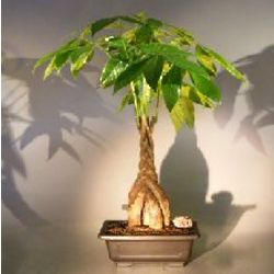 Money Bonsai Tree with Braided Trunk