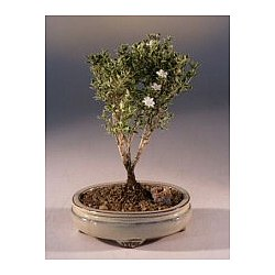 Small Mount Fuji Serissa Bonsai Tree
