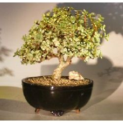 Variegated Baby Jade Bonsai Tree