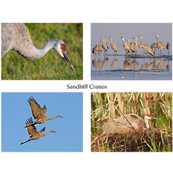 Sandhill Cranes Photo Note Cards
