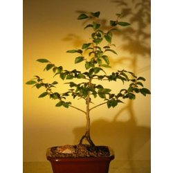 River Birch Bonsai Tree
