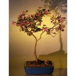 Flowering Chinese Fringe Bonsai Tree