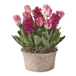 Tulip and Hyacinth Bulb Garden