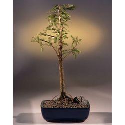 Bald Cypress Bonsai Tree