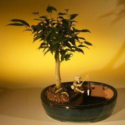 Ficus Oriental Bonsai Tree in Water Pot