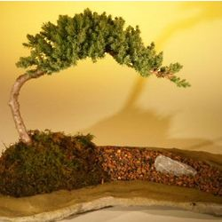 Juniper Bonsai Tree on Rock Slab