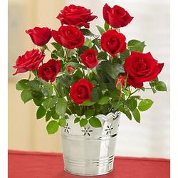Elegant Red Rose Plant in Silver Planter