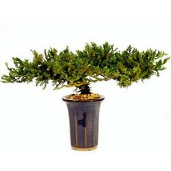 "8"" Preserved Juniper Bonsai Tree"