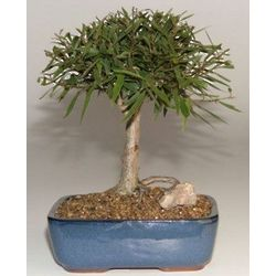 7 Year Old Willow Leaf Ficus Bonsai Tree