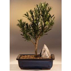 Dwarf Pringles Upright Flowering Podocarpus Bonsai Tree