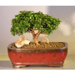 Medium Japanese Kingsville Boxwood Bonsai Tree