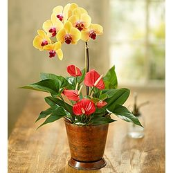 Stunning Orchid with Anthurium Plant