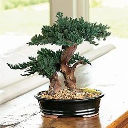 Small Evergreen Bonsai